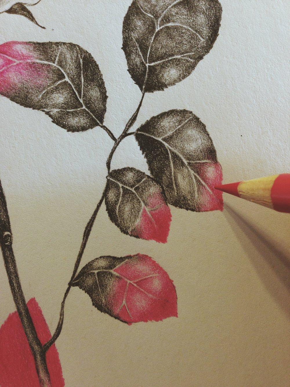 Bloemenbureau Holland (detail of rose drawing)