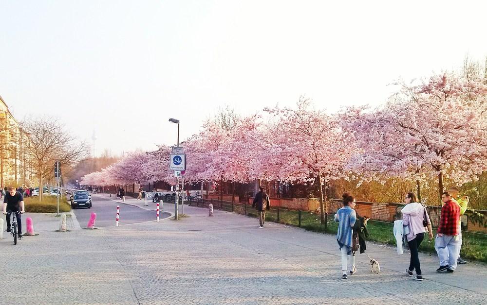 Ανθισμένες κερασιές στο δρόμο για το Mauerpark.