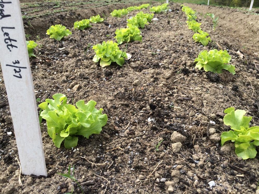 Head lettuce.