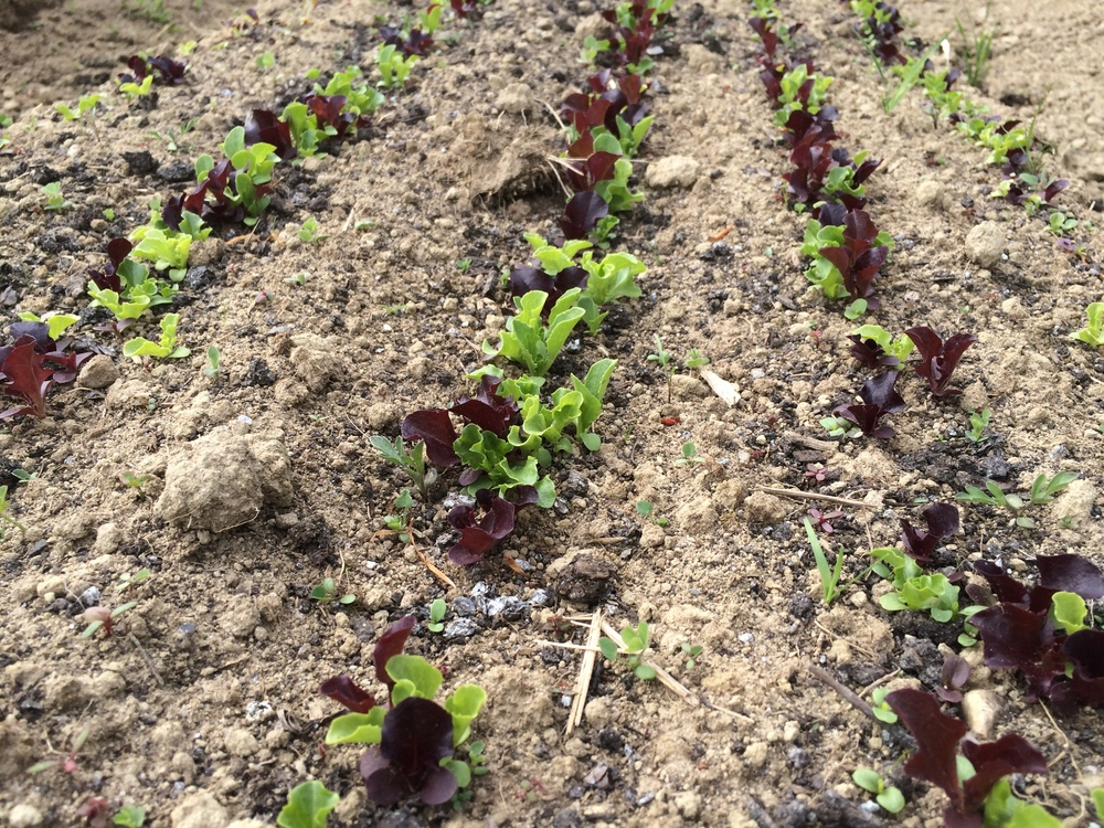 Leaf lettuce for an early salad mix.