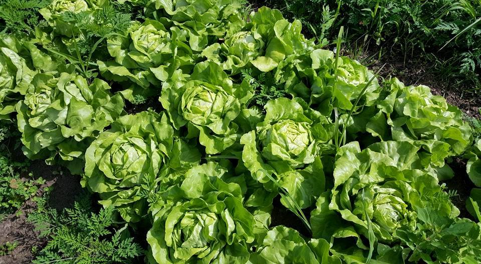 Butterhead head lettuce!  A super crunchy addition to the salad mix as of late.