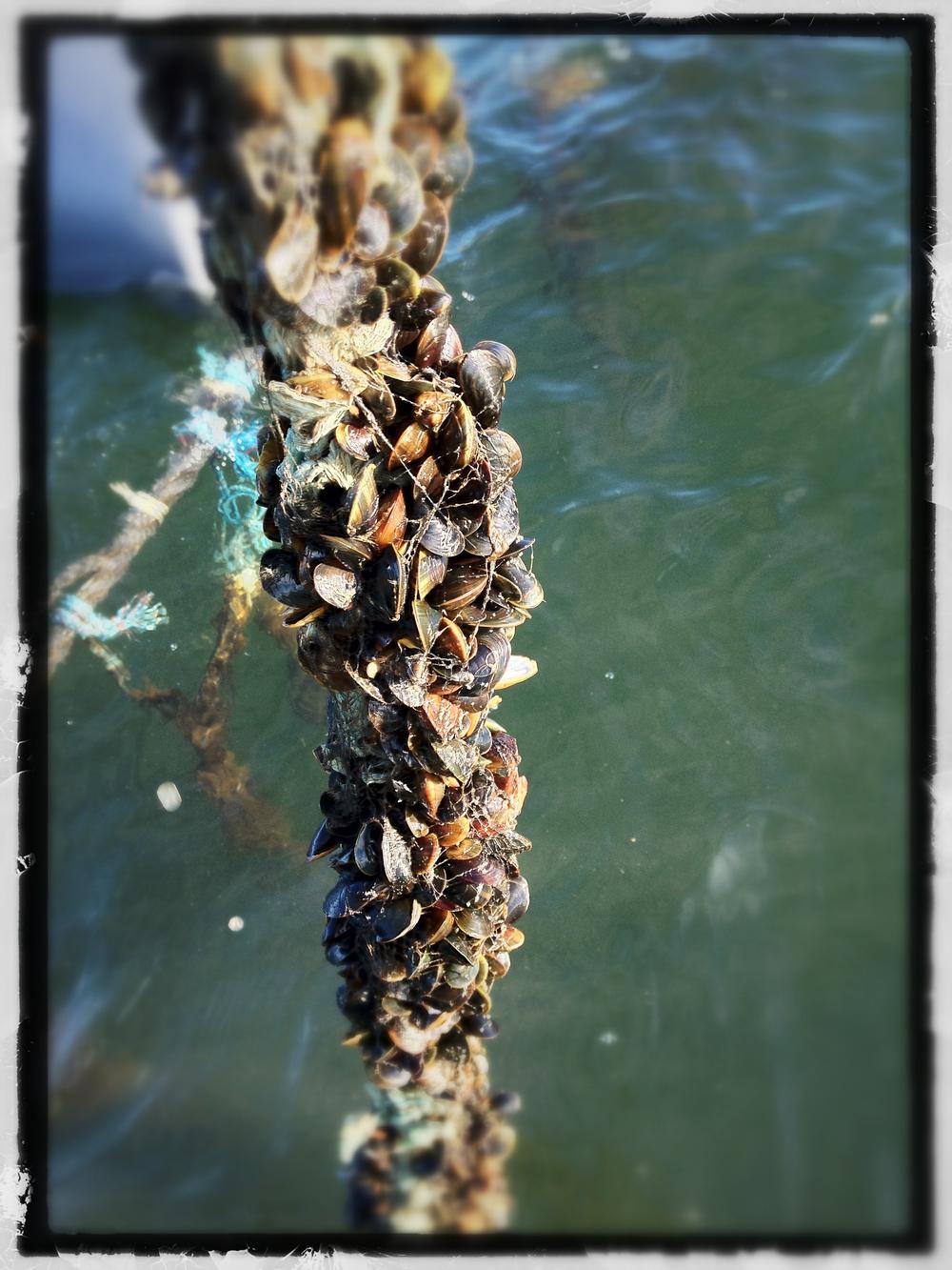 Musslor på rep