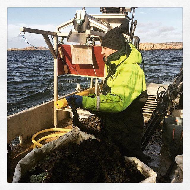 Idag fick vi kämpa!! Men 2 minuter Februari sol han vi med #musslor #madeinbohuslän #smakapåvästsverige #westsweden