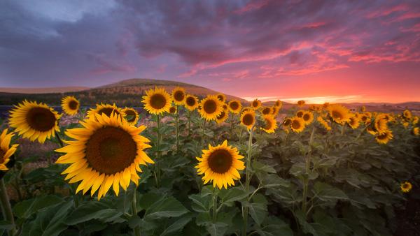 sunflower sunset nick page photography