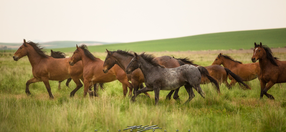 Herds of horses graze pastures throughout the Palouse, and make for a great stop while commuting from location to location