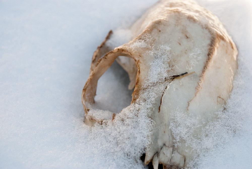 Specimen #003: Skull, artiodactyla order