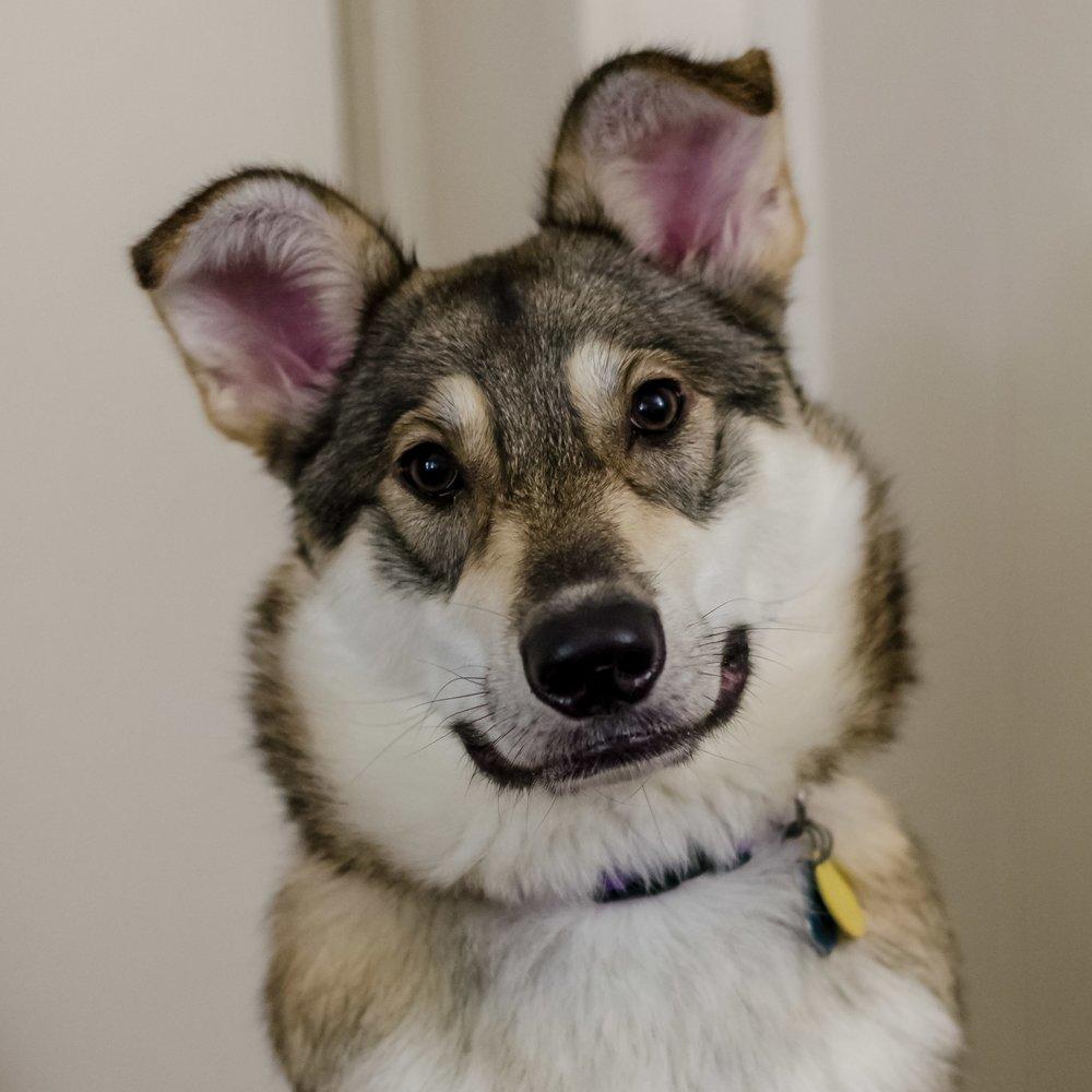 german sheperd husky puppy named khaleesi