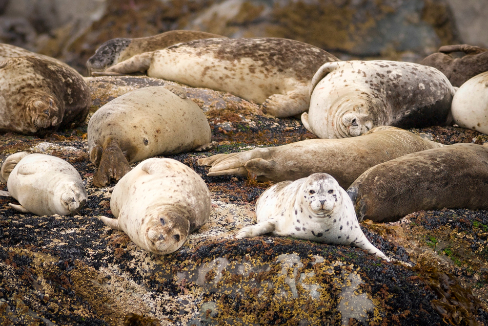 Spotted+seal3crop-1928372401-O.jpg