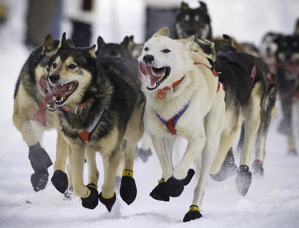 iditarod Race Start in Anchorage