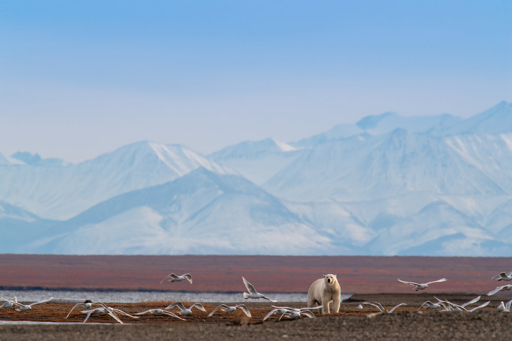 Polar Bear Brooks Range.jpg