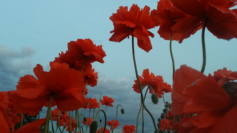 Poppies on the Bluff