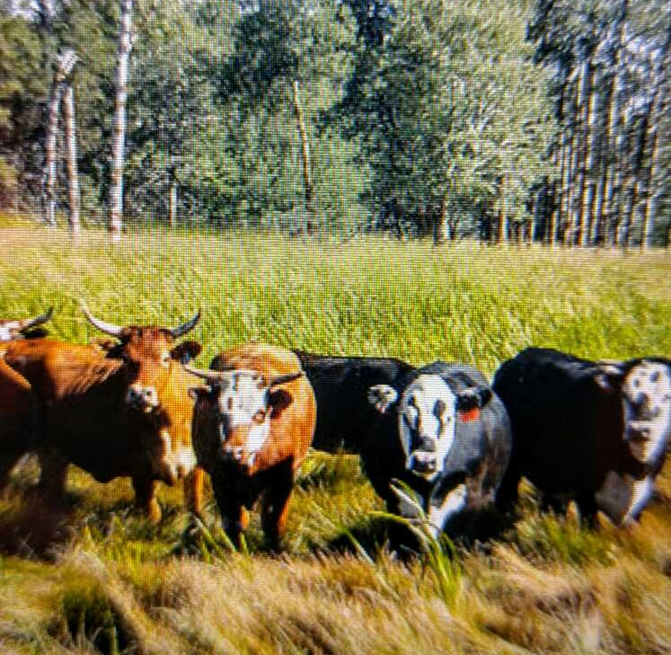 cows in the field.jpeg