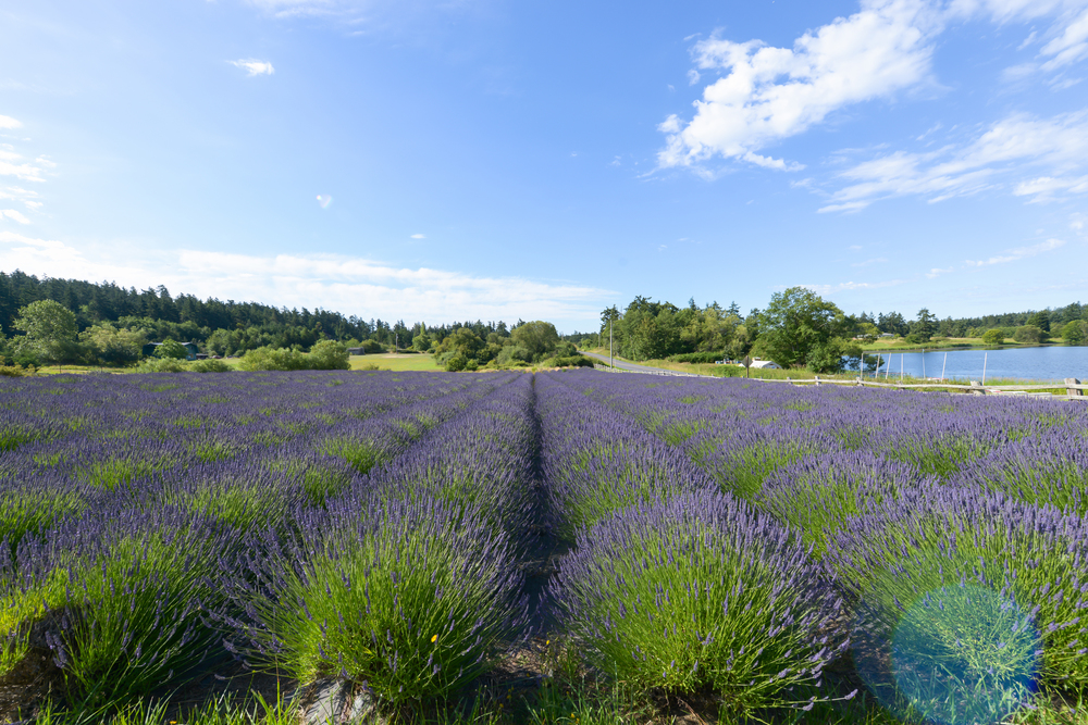 Lavender Fields San Juan Islands By Lisa Linh