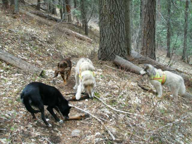 Maia and Meadow, along with Pixie (black dog belonging to friends) and Finn, take one of four elk feet found beside the trail, left by a hunter, in Idaho in 2008. Finn had just been adopted. That outing was not boring, for dogs or people!