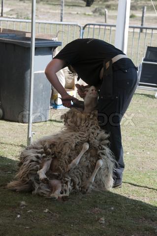 正在剪羊毛的荷兰人