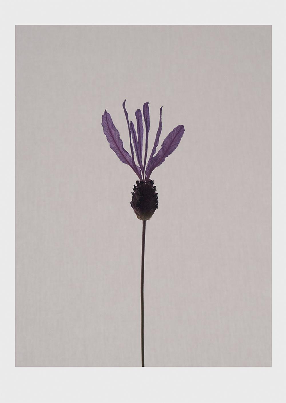 Lavender_main.jpg