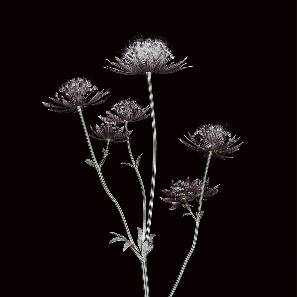Claire_Brooker_Astrantia_detail