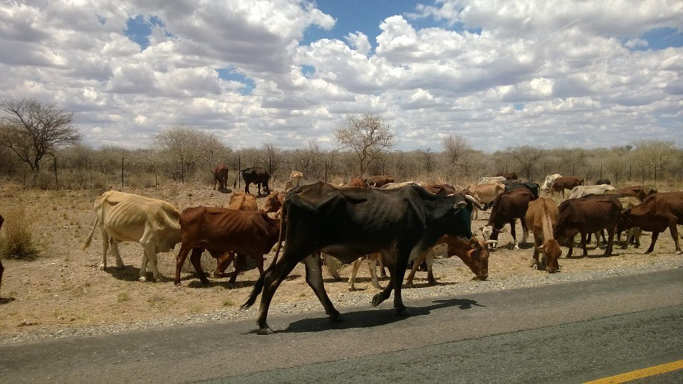 Poor skinny cows from the drought.jpg