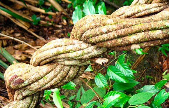 The Ayahuasca vine. Picture: nueva-aurora.com