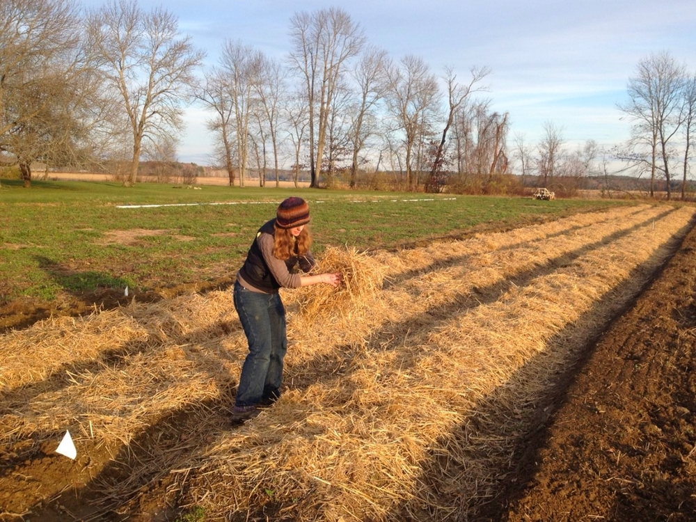 Spreading straw mulch on the garlic, to protect it through the winter months.