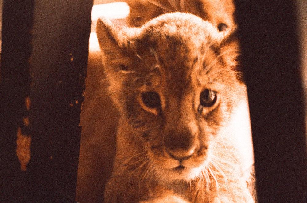 lions6.jpeg