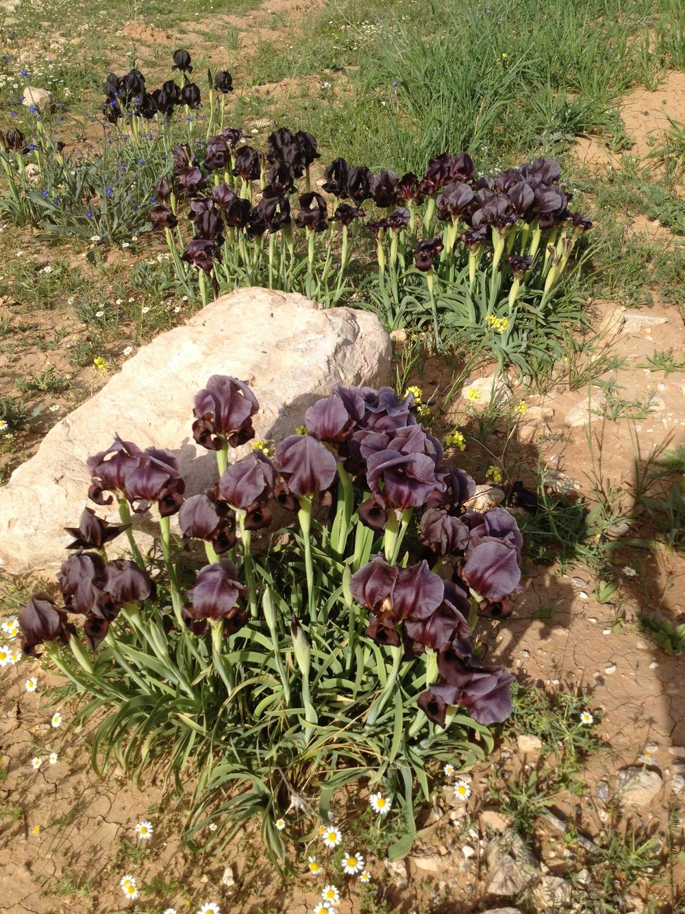 Black Iris, national flower