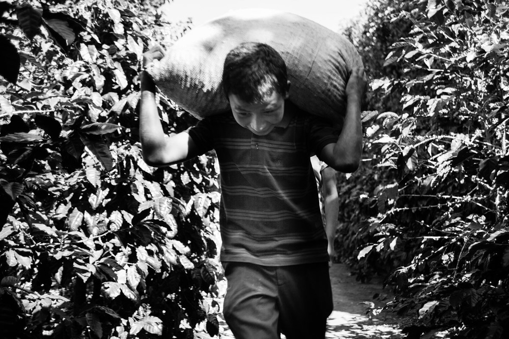 Picking coffee cherry is often a family affair, here a teen carries a 100lbs of coffee cherry.