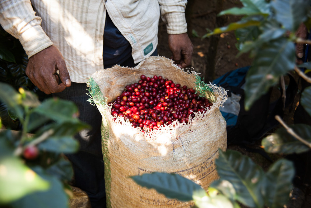 A nearly full of coffee cherry will typically weigh 100lbs. After their bag is full it will be carried to a central weigh-in spot to determine the day's wage.