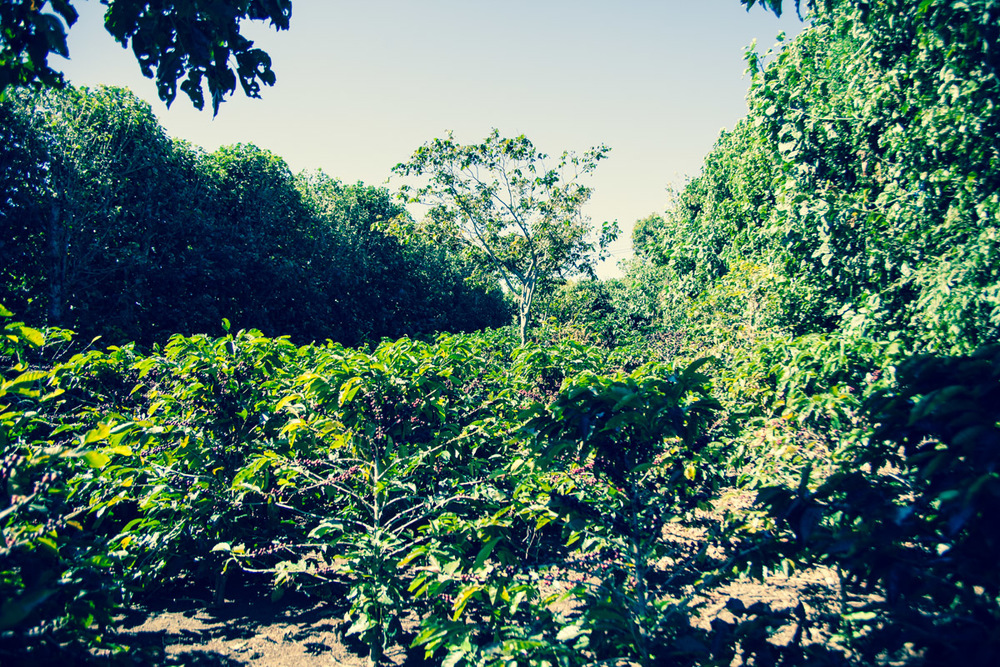 "A tree lined ""room"" at Finca El Rosario. The tree break the wind keeping the coffee plants from damage."
