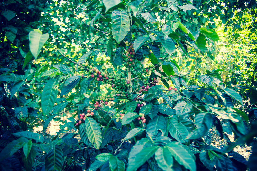Coffee plant at Finca El Rosario, El Salvador.