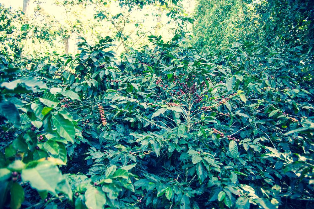 Coffee plants at Finca El Rosario, El Salvador. The plant in the center is an example of wind damage.