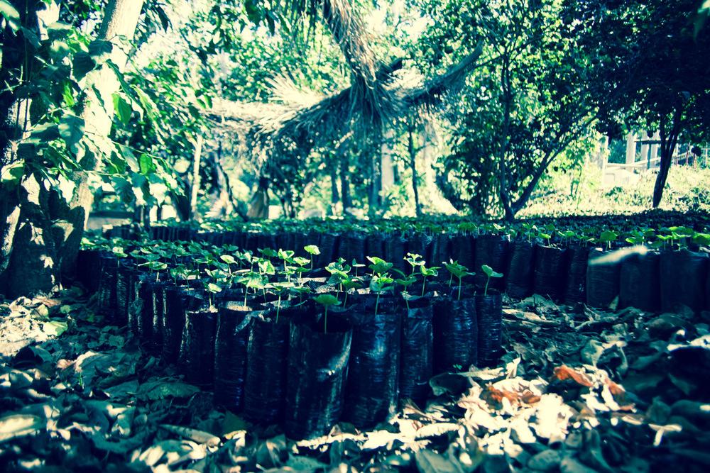Baby coffee plants grow in the shade at Beneficio Piedre Grande, El Salvador.