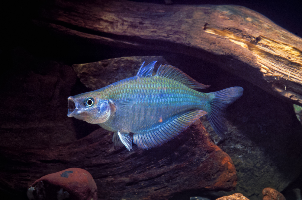 Chilatherina pricei 001 YapenIs-Papua_nik_TC.JPG