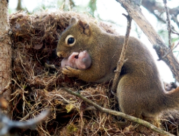 fig-1-gorrell-red-squirrel.jpg