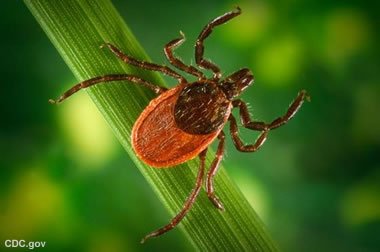 Ixodes scapularis, the deer tick.