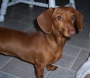 mini-dachshund-breeder-31.jpg