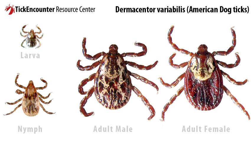 Dermacentor_variabilis.jpg