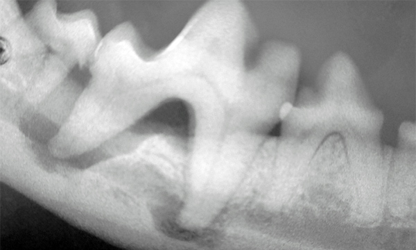 Mandibular first molar with severe bone loss around the caudal root and periapical bone loss around the mesial root.