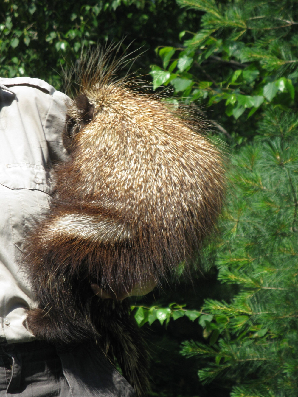 """a porcupine named """"Quilber"""""""