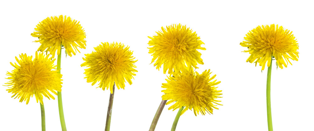 Taraxacum yellow flowers on white background