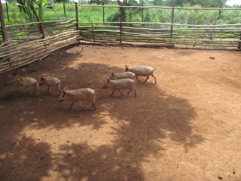 2015 The first litter of piglets to begin the St. Catherine's Empowerment Piggery Project