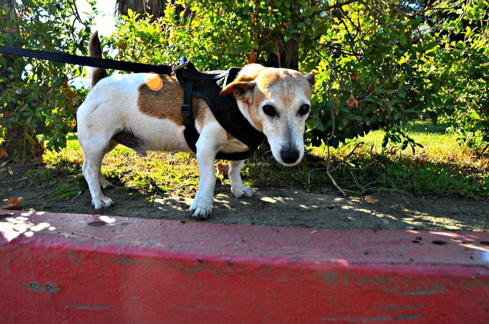 Jack Russell terrier chapter of mule fan club