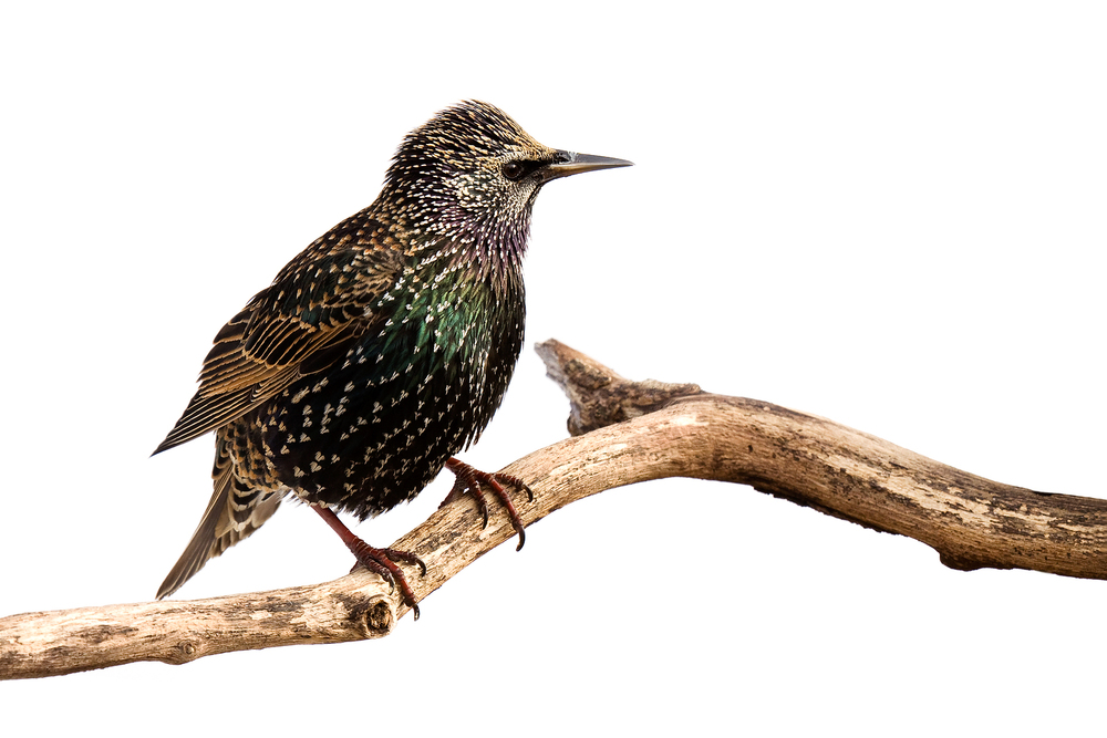 Starlings – A medium sized migratory bird which travels and roosts in large numbers. Though more commonly found in trees, when Starlings occupy your façade or facility the noise and mess can be trying.