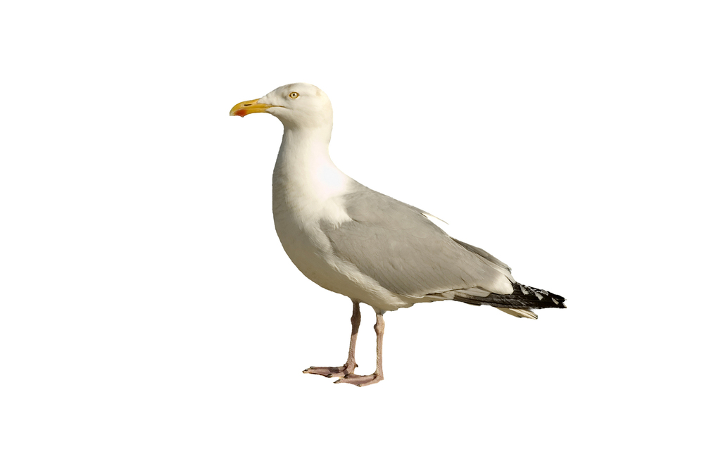 Gulls – The largest of our targeted pest birds, Gulls size and behavior make the resulting problems even greater.  Gulls continue to inhabit more inland roosts with their need for constant food sources during off season months for coastal and wetland areas.  Projects include both façade and rooftop work on buildings designing effective deterrent systems for ledges and open areas against these territorial birds.
