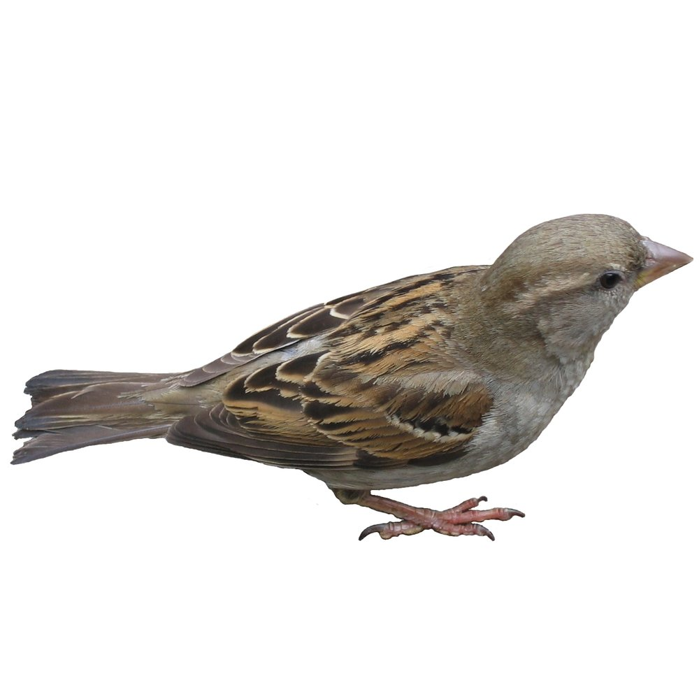 "Sparrows – The smallest of our targeted pest birds, Sparrows find their way in to buildings and struggle to find their way out. Netting systems keep these pest birds out of spaces as small as ¾"" to eliminate nesting and roosting on ceiling beams and rafters of hangars and indoor locations or in rooftop HVAC systems and decorative features on historic buildings."