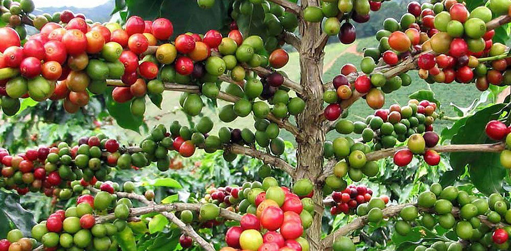 coffee bean tree.jpg