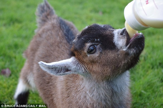 What is Goat's Milk? -