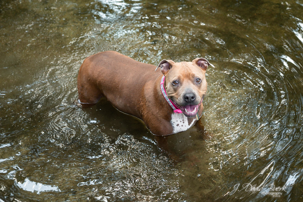 Hennessy the pit bull playing in a river stream.