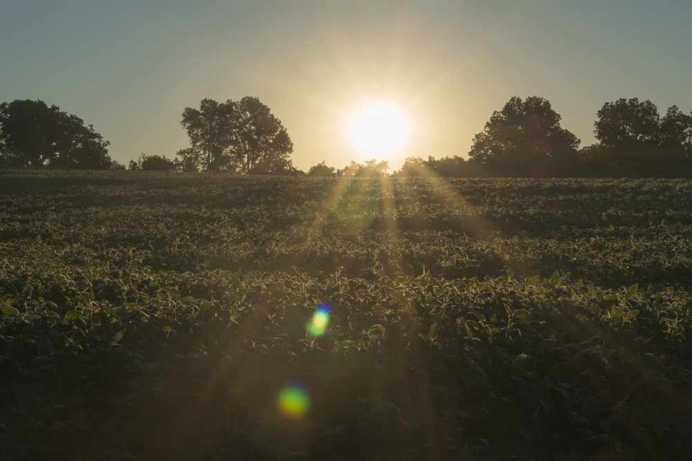 The sunrise over a field of soybeans.