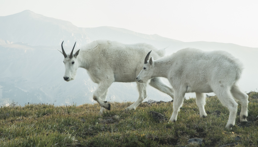 Grazing mountain goats